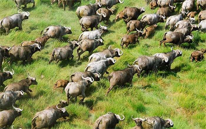Đàn trâu rừng đang di chuyển tại Kenya