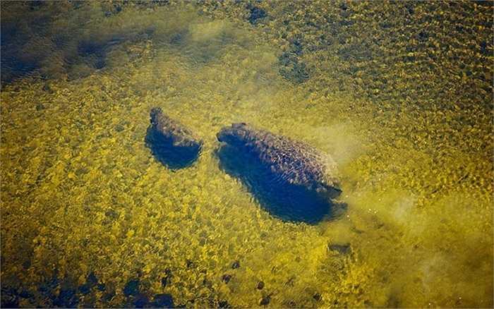 Hai mẹ con hà mã dưới sông Okavango ở Botswana