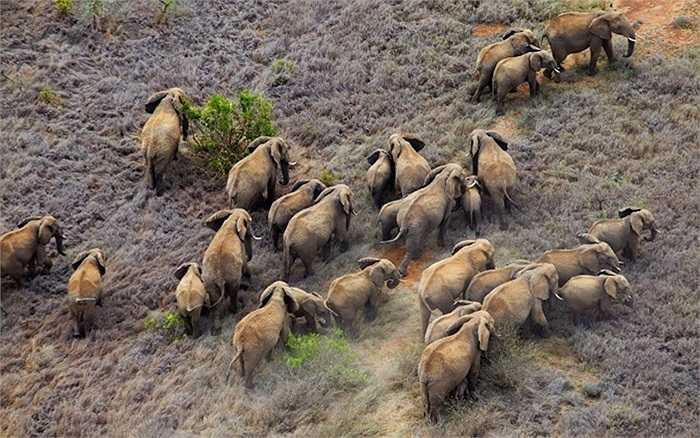 Những chú voi châu Phi khổng lồ sinh sống tại Kenya