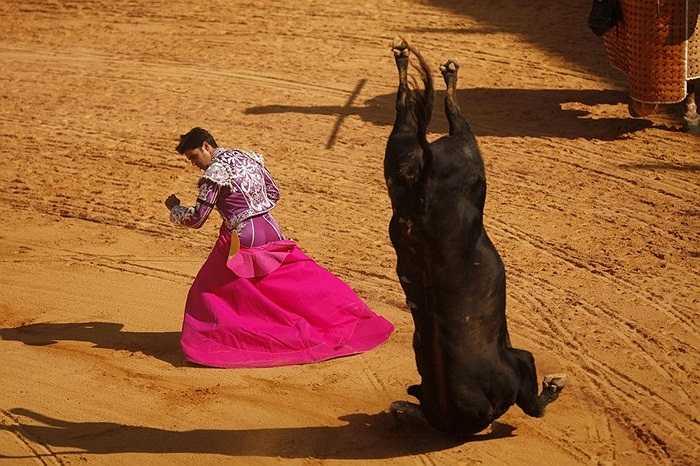 Chú bò tót cắm sừng xuống đất sau cú húc quá đà trong màn biểu diễn của Francisco Rivera ở Ronda, Tây Ban Nha