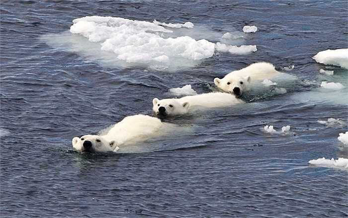Gia đình gấu Bắc Cực vượt sông ở Spitsbergen, Na Uy qua ống kính của nhiếp ảnh gia Paul Goldstein