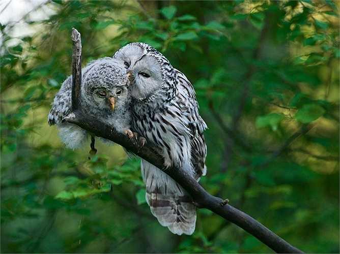 Chim cú mẹ âu yếm con trong khu rừng ở Estonia