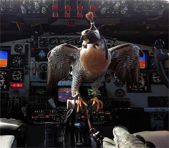 Chú chim ưng được bịt mắt và đậu trong khoang điều khiển máy bay KC-135 Stratotanker của Không quân Mỹ