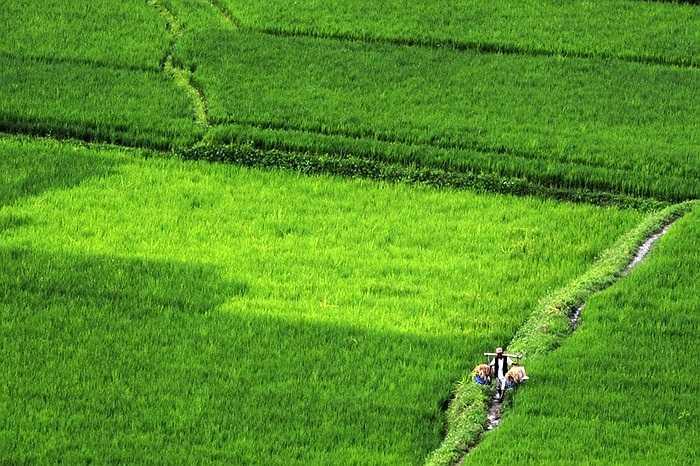 Cánh đồng xanh mướt ở một vùng nông thôn ngoại ô Katmandu, Nepal.