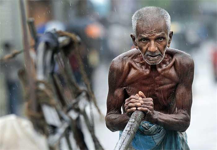 Lão nông dân người Sri Lanka kéo cày dưới trời mưa ở Colombo.