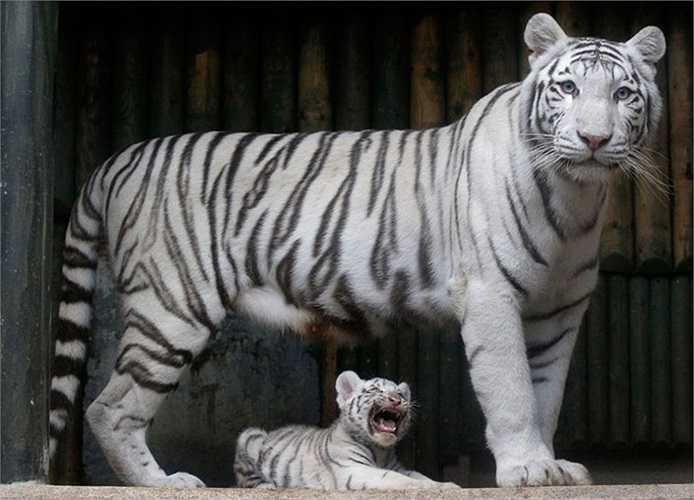 Hổ con Benga đùa nghịc bên mẹ Surya Bara trong sở thú ở thành phố Liberec, Cộng hòa Séc.
