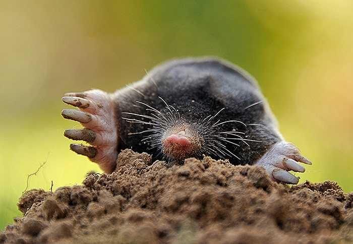 Một chú chuột chũi đang đào đất tại Godewaersvelde, Pháp
