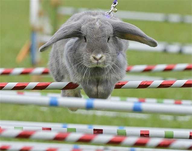 Chú thỏ Marry Lou đang chạy vượt rào trong cuộc đua dành cho thỏ ở miền nam nước Đức
