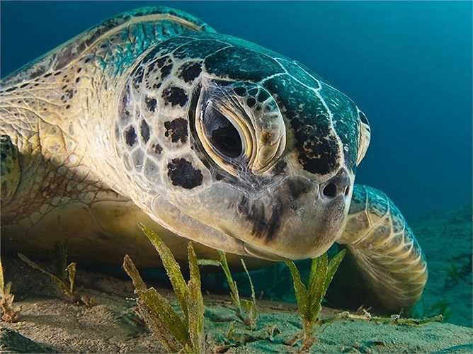 Rùa xanh khổng lồ dưới lòng Biển Đỏ ở miền nam Ai Cập