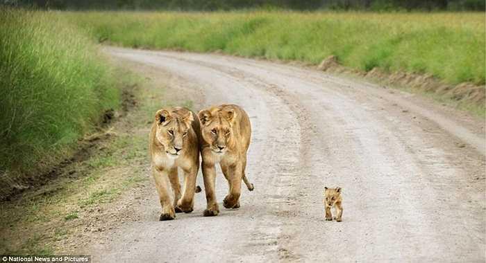 Gia đình sư tử dạo buổi sáng trong khu bảo tồn ở Kenya