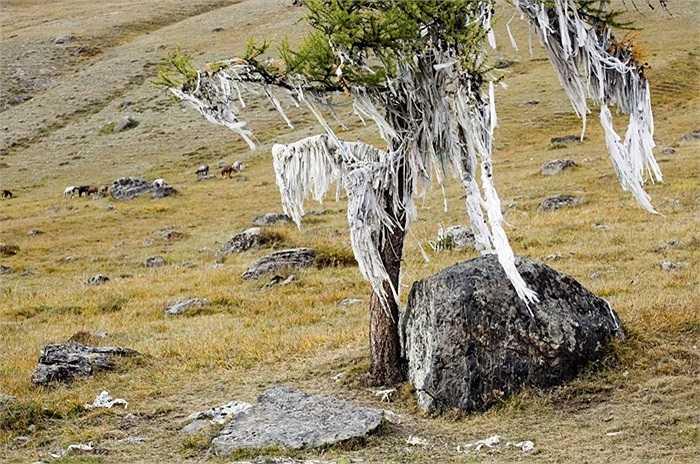 Những dải ruy băng phấp phới bay trên ngọn cây mọc bên sườn đồi ở Cộng hòa Altai, Nga. Những người dân trong vùng tin rằng việc treo những dải dây này có thể mang lại may mắn cho họ