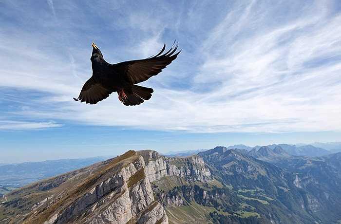 Diều hâu bay liệng trên bầu trời Grisons, Thụy Sĩ