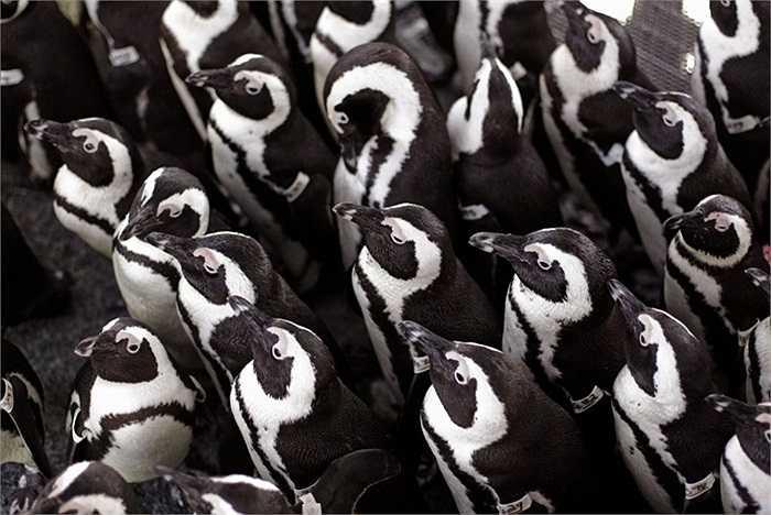 Chim cánh cụt châu Phi tụ tập để giữ ấm trên đảo Robben,Cape Town, Nam Phi