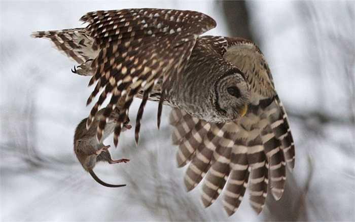 Chú chuột bất hạnh nằm gọn trong móng vuốt sắc nhọn của chim cú ở khu rừng phía bắc thành phố Quebec, Canada
