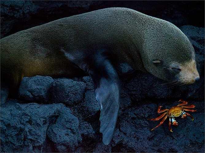 Hải cẩu và cua nghỉ ngơi trên đảo Santiago