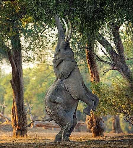 Chú voi tinh nghịch rướn mình hái lá trên cành cao trong khu rừng rậm ở Mana Pools, Zimbabwe
