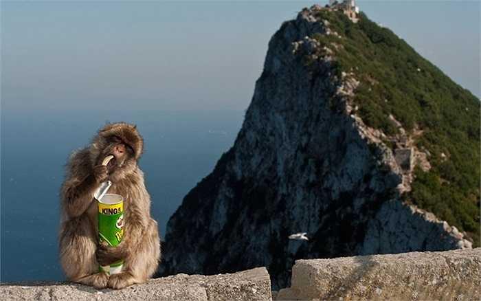Khoảnh khắc ngộ nghĩnh của chú khỉ ở khu du lịch Gibraltar, Anh