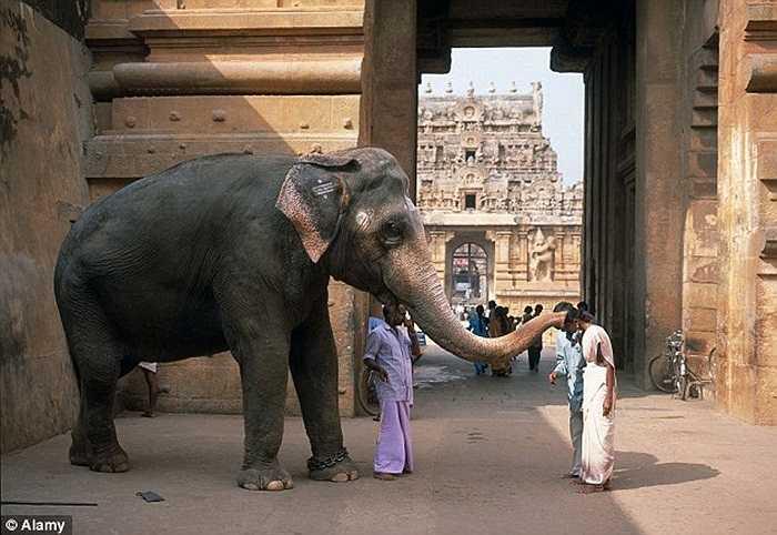 Chú voi làm động tác ban phước lành cho một phụ nữ tại đền Brihadishwara, Ấn Độ