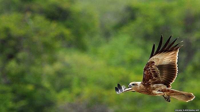 Chú đại bàng đang bay lượn trong Công viên quốc gia Yala của Sri Lanka