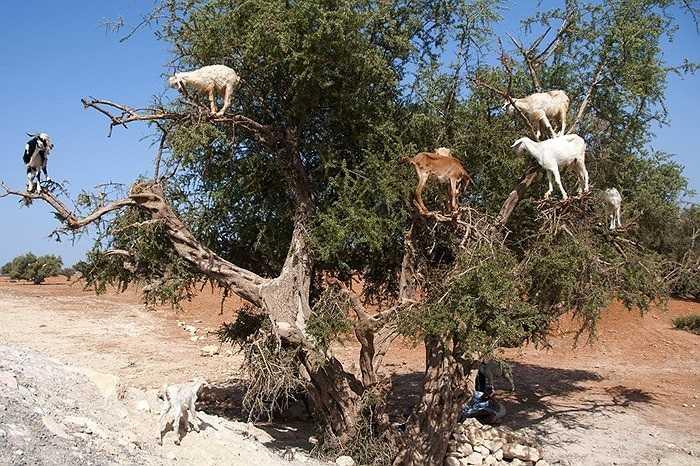 Đàn dê nghịch ngợm trèo lên cây Argan để ăn quả ở thị trấn Essaouira, Morocco.