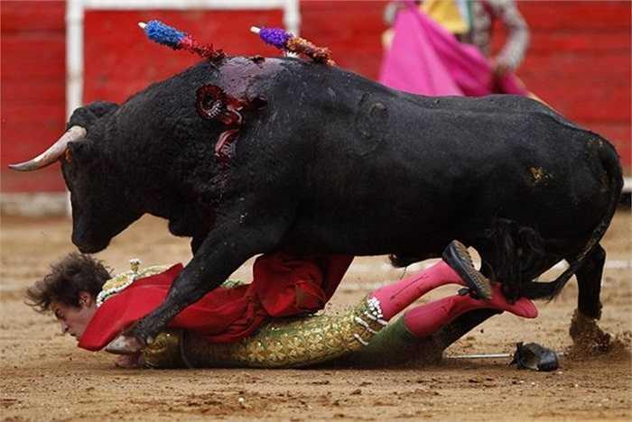 Một pha tai nạn thường gặp trong cuộc đấu bò tót ở thành phố Mexico, thủ đô Mexico.
