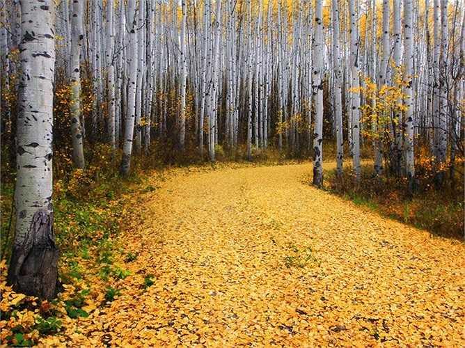 Con đường thơ mộng phủ đầy lá vàng trong khu rừng ở Colorado, Mỹ.