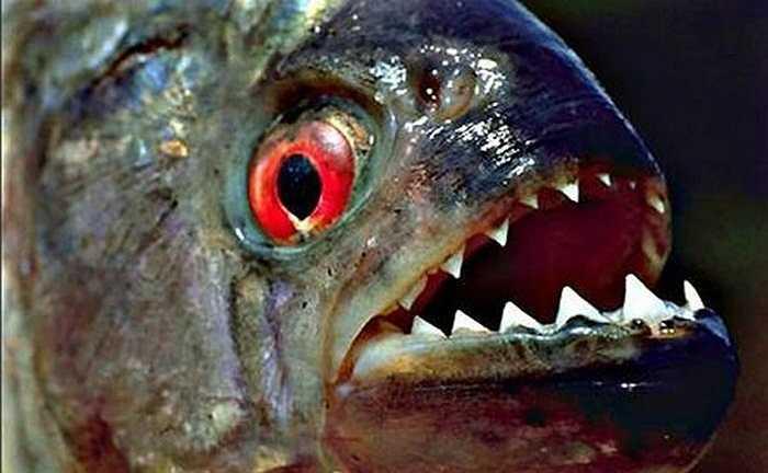 Loài cá Piranha có răng săc nhọn cắn xé con mồi