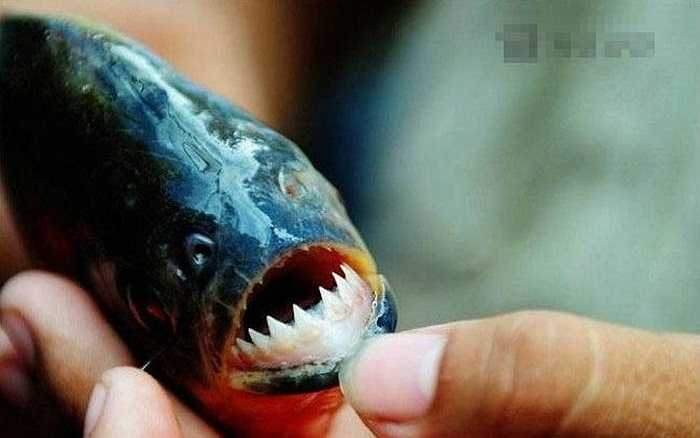 Cá Piranha là cá ăn thịt