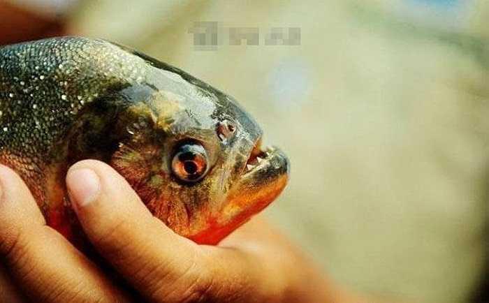 Piranha sống trong nước có nhiệt độ 22 độ C đến 26 độ C