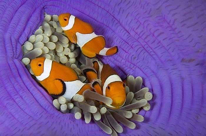 Ba chú cá đang bơi cạnh một con hải quỳ khổng lồ màu tím