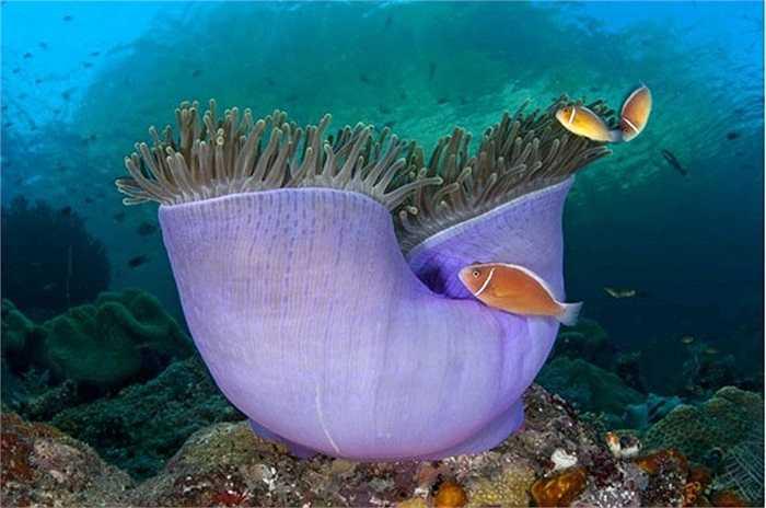 Hải quỳ khổng lồ