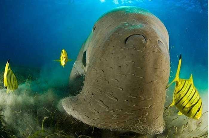 Bò biển, loài sinh vật hiền lành chuyên ăn cỏ và tảo ở các vùng biển