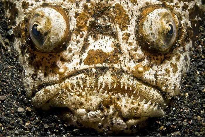 Loài cá Stargazer hầu như cả ngày chôn mình dưới lớp cát, ngoại trừ để lộ mắt và miệng chờ con mồi sập bẫy