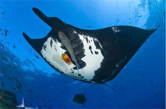 Cá đuối khổng lồ ở Thái Bình Dương