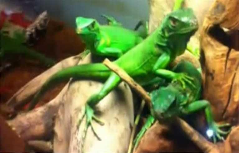 Khoảng 2 năm lại đây, cự đà (iguana) trở thành vật nuôi hot của giới trẻ Hà Nội.