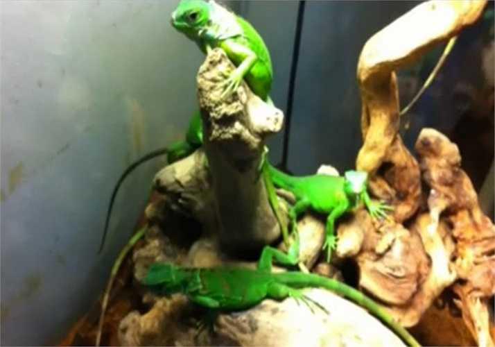Trông tựa như một con khủng long bạo chúa thu nhỏ, nhưng khá ngạc nhiên khi thức ăn chủ yếu của cự đà lại là rau xanh, hoa quả.