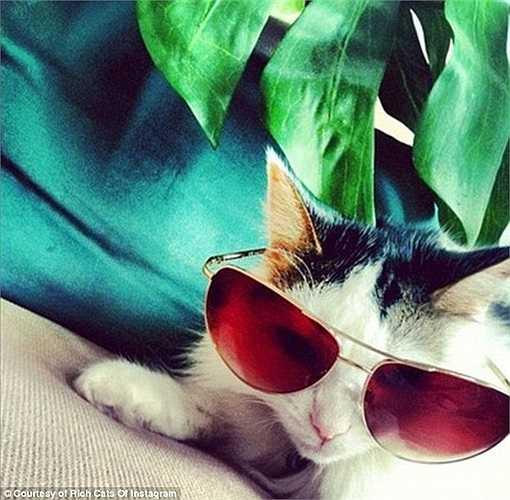 Kính râm sành điệu cũng không thể thiếu trong bộ sưu tập phụ kiện hạng sang của mèo cưng nhà giàu.
