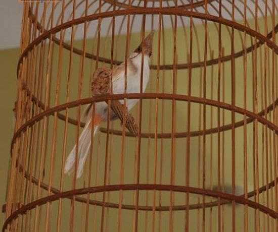 Chim cảnh được mệnh danh là chim 'người mẫu'. Chúng có vẻ ngoài 'bảnh chọe', dáng vẻ ưa nhìn, bộ lông sặc sỡ, mượt mà.