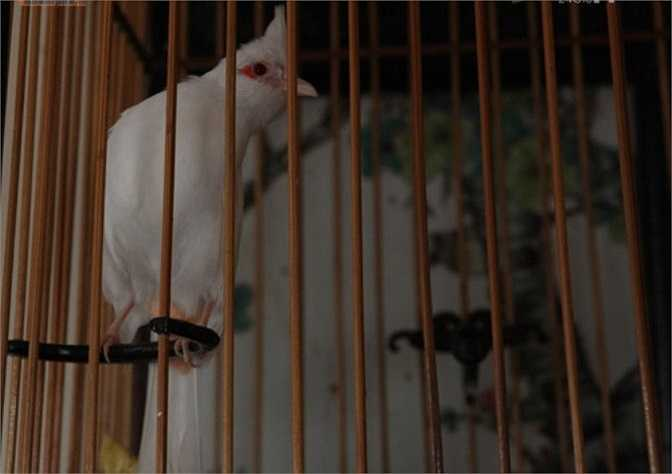 Những chú chim đắt tiền thường được chủ nhân đựng trong những chiếc lồng không dưới chục triệu đồng/chiếc. Chú chào mào trắng (chân hồng, mỏ hồng, mắt hồng) có nguồn gốc từ Thanh Hà (Hải Dương) được định giá 200 triệu