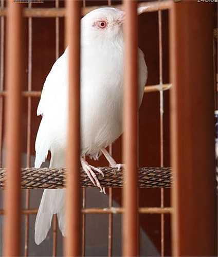 Anh Tuấn Anh cũng sở hữu một số loài chim quý hiếm như sáo trắng, chào mào mơ. Mỗi chú chim này cũng có giá từ vài chục triệu tới cả trăm triệu đồng.
