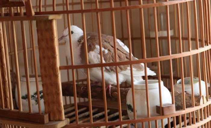 Do những chú chim này có nguồn gốc từ tự nhiên...nên việc chăm sóc rất công phu