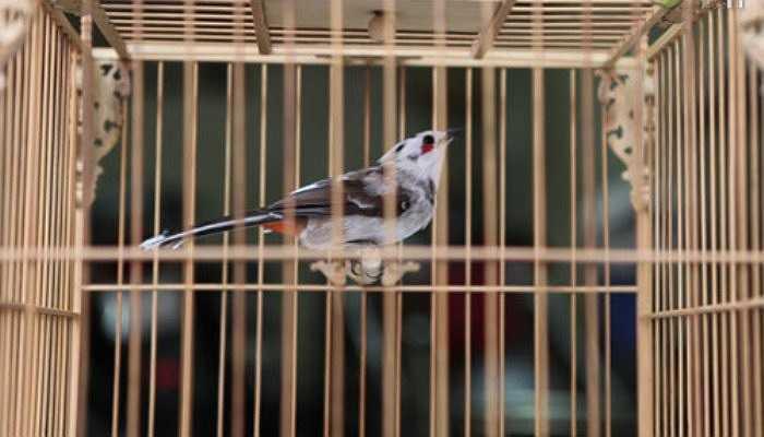 Những con chim quý, qua mỗi tay nuôi thường được đẩy giá lên, tuy nhiên giá trị của chim thường nằm trong khoảng nhất định.