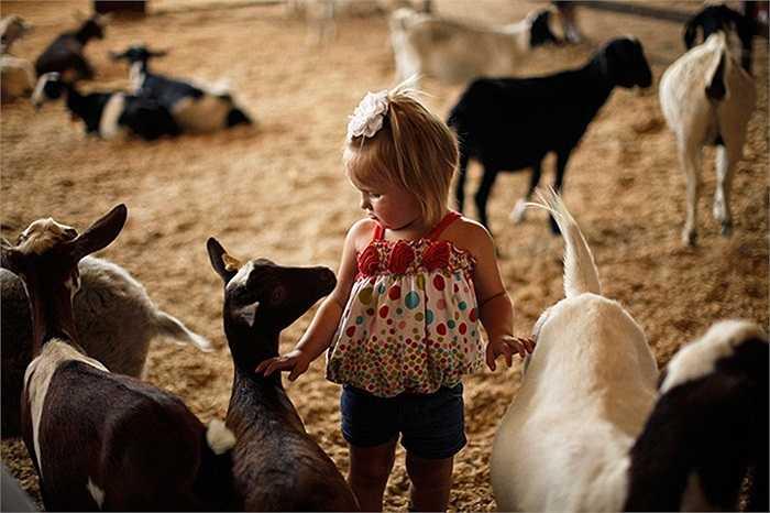 Bé gái xinh xắn đùa nghịch cùng những chú dê ở hạt Fair, bang Los Angeles, Mỹ.
