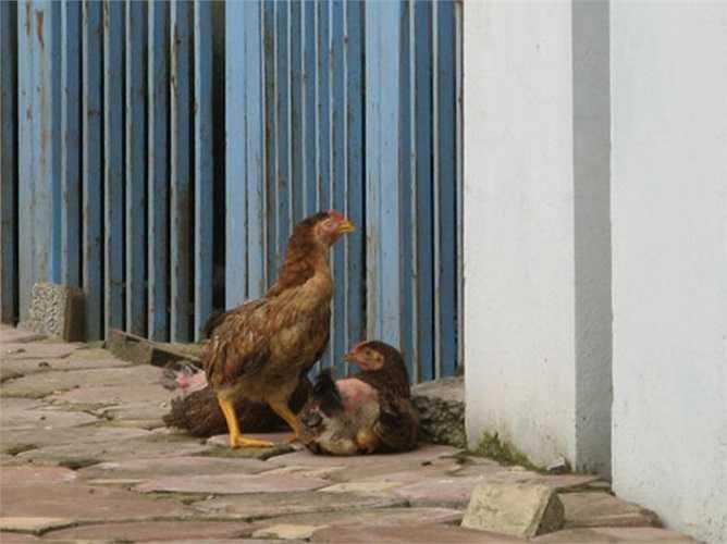 Gà vịt thả nuôi trong khu nhà triệu đô