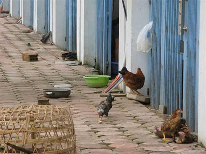 Đại diện truyền thông chủ đầu tư dự án Văn Phú Invest bày tỏ, việc nuôi gà trong Khu đô thị về nguyên tắc thì chủ đầu tư không được cấm người dân nuôi