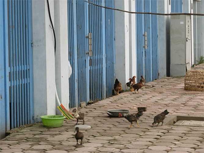 tuy nhiên Xí nghiệp Dịch vụ đô thị thường xuyên kiểm tra, đôn đốc, nhắc nhở các hộ dân không thả gà ra ngoài đường.