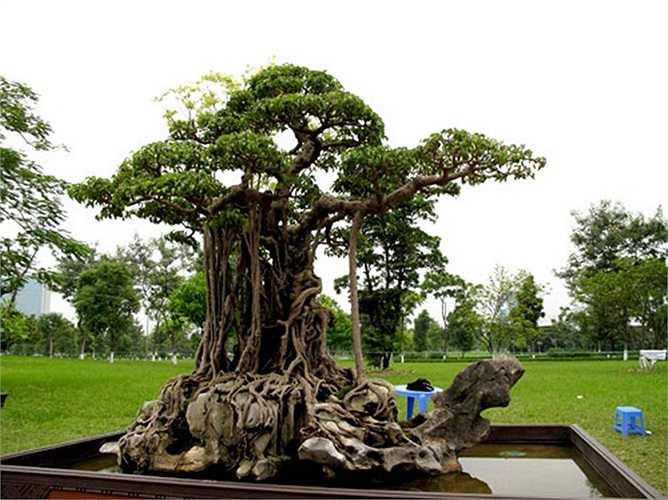 Mâm xôi con gà: Là cây sanh cổ thụ hơn 150 năm tuổi. Tháng 4/2012, siêu cây triệu đô của đại gia đất Việt Trì đã được lên trang bìa của tạp chí về nghệ thuật chơi cây cảnh, bonsai - BCI của Mỹ. Trong một triển lãm sinh vật cảnh, Mâm xôi con gà được đ