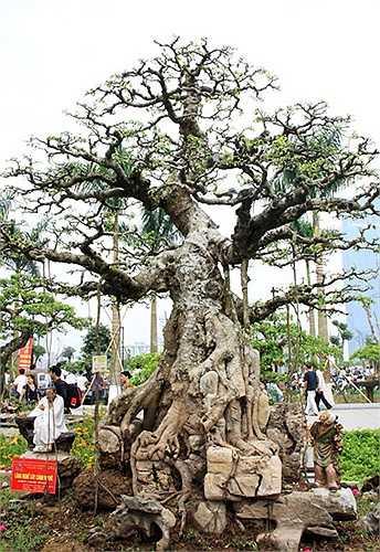 Cây sanh đại thụ thế Trực quân tử của anh Phạm Hải Anh thôn Vị Khê, xã Điền Xá, huyện Nam Trực, tỉnh Nam Định. Đây là cây trải qua hơn 4 đời và được định giá khoảng 25 tỷ đồng. Theo chủ nhân của cây sanh đại thụ này, 25 tỷ là giá mà khách mua cây từn
