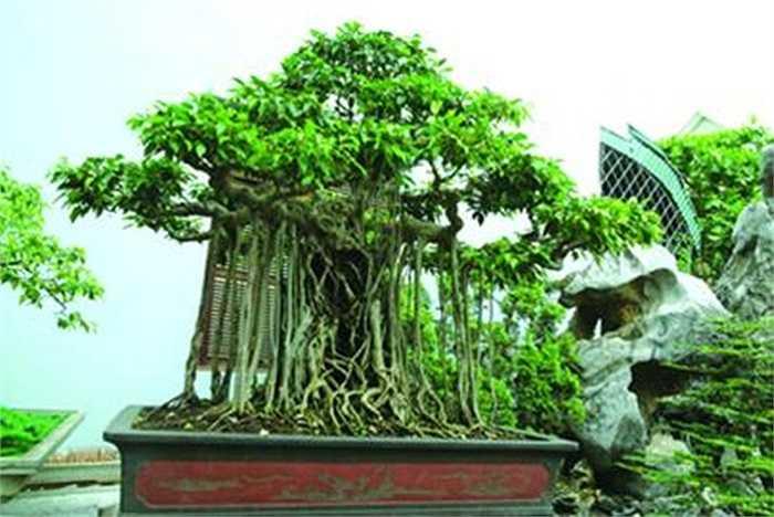 Dáng làng:Là cây sanh có tuổi đời 200 năm, cây thuộc sở hữu của đại gia Toàn đôla. Cây sanh này được anh mua trong Huế  với giá 3 tỷ đồng từ mấy năm trước. Đến nay, đã có người trả giá 22 tỷ đồng nhưng anh chưa bán.