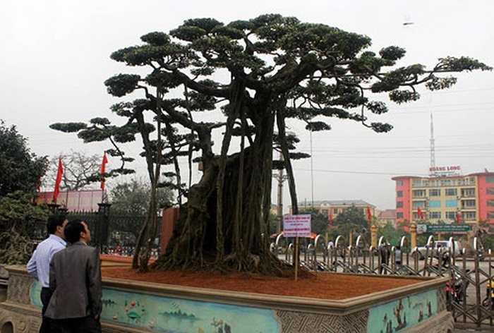 Cây Sanh có tên Quần Long Phượng Vũ của công ty xây dựng Cường Thịnh Thi (Ninh Bình) có tuổi thọ trên 100 năm, được cho là độc nhất vô nhị có giá là 1 triệu USD.